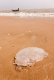 Jellyfish on the beach Royalty Free Stock Image