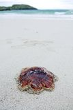 Jellyfish on the beach. Jellyfish marooned on the beach royalty free stock images