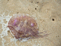 Jellyfish at the beach Royalty Free Stock Photos