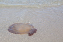 Jellyfish on the beach. Royalty Free Stock Photography