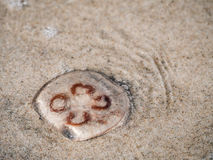 Jellyfish on the beach Royalty Free Stock Photography