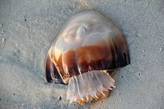 Jellyfish on beach Royalty Free Stock Image