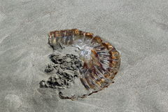 Jellyfish. A beached jellyfish on the sand stock image