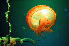 Jellyfish. A beautiful jellyfish in the aquarium Royalty Free Stock Photo