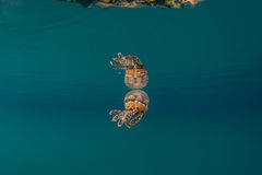 Jellyfish in Beautiful Lagoon Stock Image