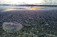 Jellyfish being washed ashore, Malaga Stock Photography