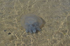 The Jellyfish. Big Jellyfish in the sea Royalty Free Stock Photography