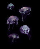 Jellyfish on black background Stock Image