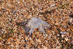 Jellyfish. On the Black Sea beach Stock Images