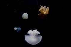 Jellyfish  on black sea close up detail. Jellyfish  on black background Royalty Free Stock Photos