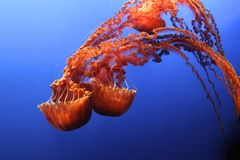Jellyfish black sea Nettle Royalty Free Stock Photos