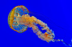 Jellyfish in a blue aquarium. Jellyfish moving like a shooting star in a blue aquarium Royalty Free Stock Image