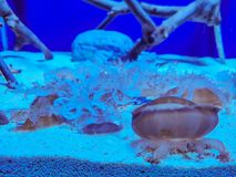 Jellyfish in the blue aquarium stock images