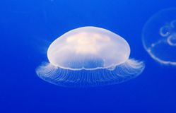 Jellyfish. On the blue background Stock Image