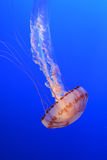 Jellyfish on blue background Royalty Free Stock Images