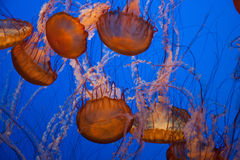 Jellyfish With Blue Background Stock Image