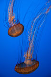 Jellyfish With Blue Background Royalty Free Stock Photography