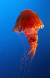 Jellyfish on blue background Stock Image