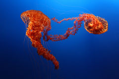 Jellyfish on blue background Royalty Free Stock Photo