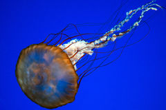 Jellyfish on blue background, close up, detail Stock Images