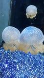 Jellyfish Royalty Free Stock Photography