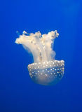 Jellyfish. In a blue dark water Stock Image