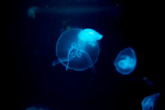 JellyFish. A blue jellyfish and friends Stock Images