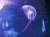 Jellyfish in the blue light.  stock image