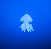 Jellyfish in the blue ocean Royalty Free Stock Image