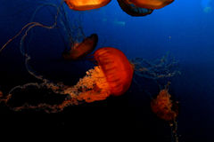 Jellyfish on blue Stock Images