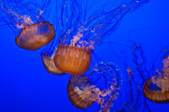 Jellyfish in Blue Water Stock Photos