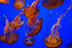 Jellyfish in Blue Water Stock Image