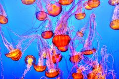 Jellyfish in blue waters Royalty Free Stock Photography