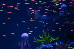 Jellyfish and bright fishes. Jellyfish and bright colorful fishes swim under the water Royalty Free Stock Images