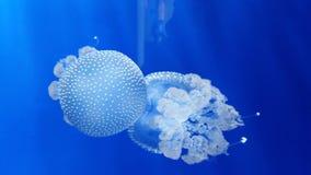 Jellyfish. A bug jellyfish in acquarium Stock Photography