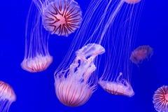 Jellyfish - chrysaora pacifica Stock Images