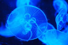 Jellyfish, Cnidaria, Blue, Marine Invertebrates Royalty Free Stock Photography