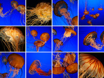 Jellyfish collage. Taken at Monterey Bay aquarium Royalty Free Stock Photography