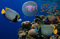 Jellyfish with colorful tropical fish. And corals underwater. Red Sea Royalty Free Stock Images