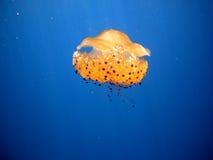 Jellyfish Cotylorhiza tuberculata Stock Images