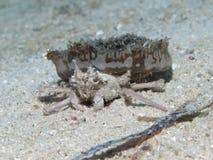 Jellyfish crab Royalty Free Stock Photo