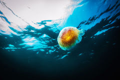 Jellyfish, Cyanea capillata in sea. Stock Images