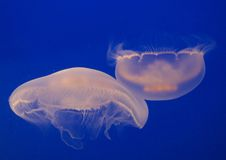 2 Moon Jellyfish Stock Images
