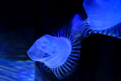 Jellyfish Stock Photos
