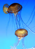 Jellyfish 003 Royalty Free Stock Photos