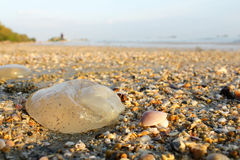Jellyfish. Dead Jellyfish and shell aground on beach Stock Photo