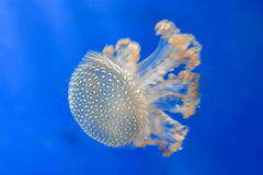 Jellyfish in the deep blue. Move effect on Jellyfish in the deep blue background Royalty Free Stock Images