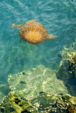Jellyfish in a deep blue ocean Stock Photography