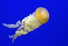 Jellyfish, denna pokrzywa/ Obrazy Royalty Free