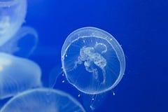 Jellyfish Drifting Background. Moon jellyfish drifting softly underwater Stock Image